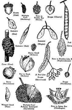 Learning a tree's botanical parts is useful for tree owner and forest manager. These tree parts and markers help make positive tree identification.: Parts of a Tree, Use the Flower, Cone and Fruit to Identify a Tree Leaf Identification, Tree Structure, Theme Nature, Nature Table, Tree Study, Nature Activities, Forest School, Nature Study, Nature Journal