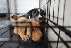 Watch What Happens When a Pet Store Switches Out Animals for Shelter Pets Animal Euthanasia, National Preparedness Month, Alaskan Klee Kai, Homeless Dogs, Stop Animal Cruelty, Scottish Fold, Puppy Mills, Animal Welfare, Shelter Dogs