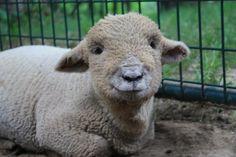 Shaun the Sheep of Kellane Farm, WI Crappy Day, Shaun The Sheep, Barnyard Animals, Llama Alpaca, Goats, Baby Dolls, Lambs, Ducks, Bunnies