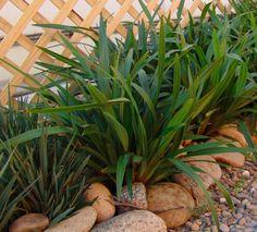248 best landscape gardening plants images on pinterest native tasred dianella is a tough adaptable and reliable strappy leaf plant altavistaventures Images