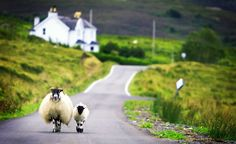 sheep on the lane