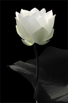 "Lotus (Water Lily).   (""Simplicity  •=• •=• •=•."")"