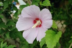 Hibiscus syriacus, or Rose of Sharon - These are the hibiscus flowers most common in Australian gardens and the petals can be used dried or fresh in teas (about 1 tsp of dried flowers or 1 tbsp of fresh flowers)