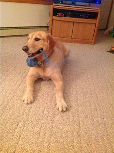 Buddy Pet Sitting, Labrador Retriever, Pets, Animals, Labrador Retrievers, Animals And Pets, Animales, Pet Care, Animaux