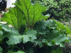 rhubarb for the tropical garden