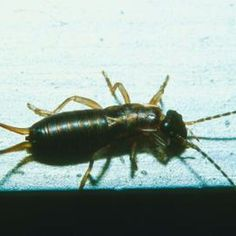 Solve an earwig problem without using unnatural chemicals.