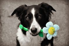 Hilary,border collie with flower