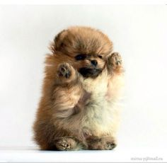 More About Pomeranian Puppy Photoshoot Source by The post Pomeranian Cara De Oso appeared first on Dogs and Diana. Cute Baby Animals, Animals And Pets, Funny Animals, Cute Puppies, Cute Dogs, Dogs And Puppies, Doggies, Baby Dogs, Pomeranian Puppy