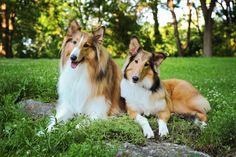Jenna and Macey - Rough Collies