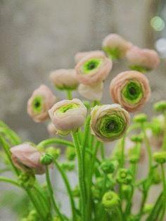 Ranunculus Ranunculus
