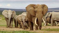 Stropers gaan beschermd gebied olifant binnen. UPDATE Een groep van 17 gewapende stropers is maandag het nationale park Dzanga-Ndoki in de Centraal-Afrikaanse Republiek binnengetrokken. Het Wereld Natuur Fonds (WNF) zei dinsdag te vrezen voor het leven van vele olifanten in het gebied.