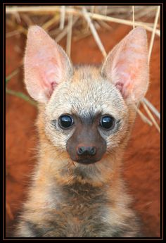 Aardwolf cub - The name means Earth Wolf, found in Africa, they Are related to hyenas but their diet consists of insects, mostly termites.