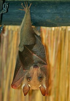 Wahlbergs epauletted fruit bat, Zimbabwe @gloria cho you are going to have to protect me from these too!!!!!
