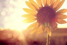 sunflower pretty-pretty