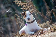 Jack Russell Isis by Heavenly Pet Photography  - Photo 90161057 - 500px