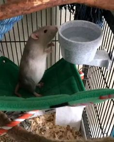 Cute Baby Animals, Animals And Pets, Funny Animals, Hamsters, Rodents, Kangaroo Rat, Rat Cage, Fancy Rat, Cute Rats