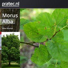 Morus Alba - Witte Moerbei  http://pratec.nl/product-categorie/bomen/?filtering=1&filter_latijnse-naam=117 De witte moerbei, Morus Alba is een boom uit de moerbeifamilie met een lichtgroen en decoratief blad. De soort komt oorspronkelijk uit China. De kleine eetbare zoetige vruchten lijken op mini-frambozen.