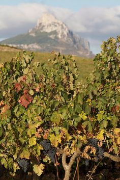 Mountains and vines,  Rioja  Spain