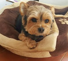 Yorkshire Terriers, Yorkies, Maltese, Pets, My Love, Animals, My Boo, Animaux, Animales
