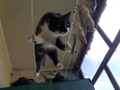 Amazing! The smell of fish lead this cat to walk on string.