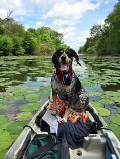 Rollin on the river. Bluetick coonhound