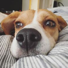 This little beagle head says good morning!