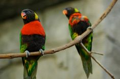 The Sunset Lorikeet is the real clown of the parrot world, just like most of their Lory relatives. Find out all about these adorable pet birds! Bird Breeds, Birds For Sale, Beautiful Birds, Pet Birds, Cute Animals, Creatures, Behavior, Sunset, Pets