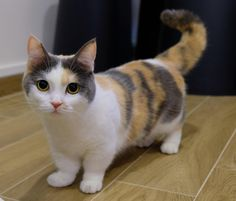 Fantastic Photographs Cat Breeds munchkin Tips : A lot of people imagine that kittens and cats are only felines, which almost all the same. Those same folks could possi cats breeds munchkin Pretty Cats, Beautiful Cats, Animals Beautiful, Cute Cats, Funny Cats, Adorable Kittens, Dwarf Cat, Munchkin Kitten, Munchkin Cat Scottish Fold