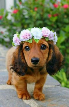 A Beautiful Dachshund Dog With Flowers - Cutest Baby Animals Cute Baby Dogs, Super Cute Puppies, Cute Little Puppies, Super Cute Animals, Cute Dogs And Puppies, Cute Little Animals, Cute Funny Animals, Doggies, Cutest Dogs