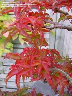 Shishigashira Japanese Maple | PlantFiles Pictures: bert picture (Japanese Maple…