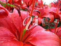 2 Beautiful Flower Photo Collections for Floral Friday Beautiful Flowers Photos, Blogging, Lily, Friday, Clip Art, Collections, Floral, Plants, Red