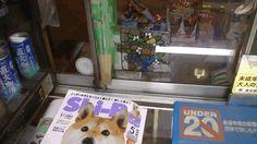 【画像あり】東京のたばこ屋で店番をする柴犬が可愛すぎると海外で話題に 【翻訳】 : 暇人\(^o^)/速報 - ライブドアブログ