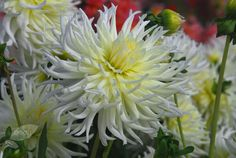 Buy dahlia tuber Dahlia 'White Star': Delivery by Crocus.co.uk
