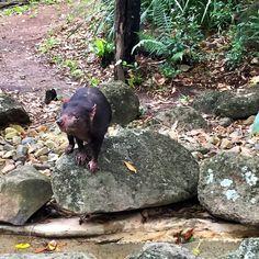 Ey up Taz Man! #tazman #tasmaniandevil #australia #currumbin #currumbinwildlifesanctuary #queensland #thisisqueensland #visitgoldcoast #goldcoast by dexdexterbmx http://ift.tt/1X9mXhV