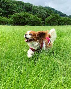 King Spaniel, King Charles Spaniel, Cocker Spaniel, Really Cute Dogs, I Love Dogs, Cute Puppies, Dogs And Puppies, Cavalier King Charles Dog, Dog Quotes Love
