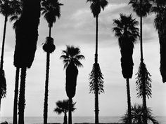 Palm Trees in Silhouette, California, 1958