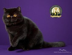 An introduction to the Exotic breed Best Cat Breeds, Cat Photography, British Shorthair, Warrior Cats, Domestic Cat, Beautiful Cats, My Animal, Cool Cats, Egyptian