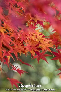 Japanese Maple Tree in Fall, colorful & vibrant leaves full or orange, red and yellow colors. Download this picture and use it on your blog or web article for free. Autumn-related blog photograpy from Tokyo, Japan for your blogging needs. #mapletree #autumnleaves #leaves Fall Leaves Pictures, Fall Pictures, Nature Images, Nature Pictures, Beautiful Pictures, Red Leaves, Autumn Leaves, Orange Red, Yellow