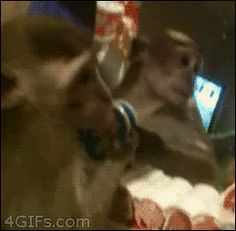 Monkey is All I DO NOT Look Like That. Bonobo-you-didn't.. monkey, mirror, funny, Reflection, Animals