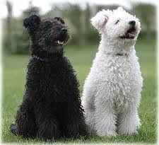 Pumi - Hungarian dog breed.