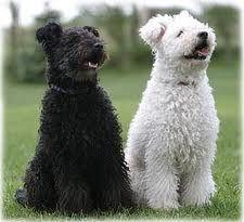 Pumi - Hungarian dog breed.