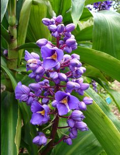 Blue Ginger -Dichorisandra thrysiflora - is an exotic perennial from Brazil. It is rapidly becoming the darling of rare plant collectors because of the intense purple-blue colour of its flowers.... mine is just coming into flower now (April 2017)