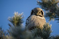 Northern hawk-owl on a very cold January morning in Kokkola, Finland by Jani Ylikangas