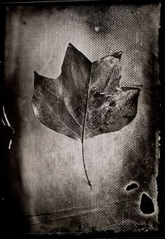 Tulip tree Leaf 4x5 wet plate by John Fobes