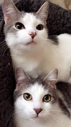 My favorite twins :')   cats funny pictures