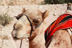 Us humans have used camels as transportation for thousands of years. They stand up to 7 feet tall and can weigh up to 1,500 pounds! See them for yourself with our 15-day Arab Sheikdoms tour: https://bestway.com/tours/arab-sheikdoms/