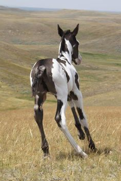Cute little Pinto colored foal. Wish I could see this horse from other angles, awesome coloring
