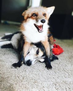 Energetic Pet Fox Finds an Unlikely Best Friend in a Gentle Canine - My Modern Met Animals And Pets, Baby Animals, Funny Animals, Cute Animals, Fox Dog, Dog Cat, Beautiful Creatures, Animals Beautiful, Canis Lupus