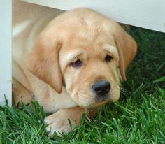 Quinn the Labrador Retriever I Love Dogs, Cute Dogs, Adorable Puppies, Adorable Babies, Animals And Pets, Cute Animals, English Labrador, Golden Labrador, Image Hd