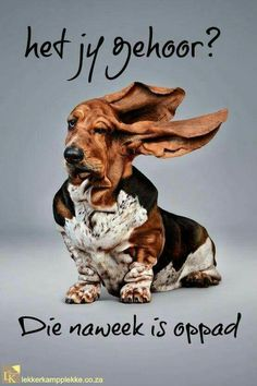 yes, but lots of creases and wrinkles too! sweet and precious basset hound! ps, must have been some serious wind to get those very long ears up in the air like this pin shows! Baby Animals, Funny Animals, Cute Animals, Animal Memes, Funny Dogs, Cute Dogs, Vogel Silhouette, Hound Dog, Dog Houses